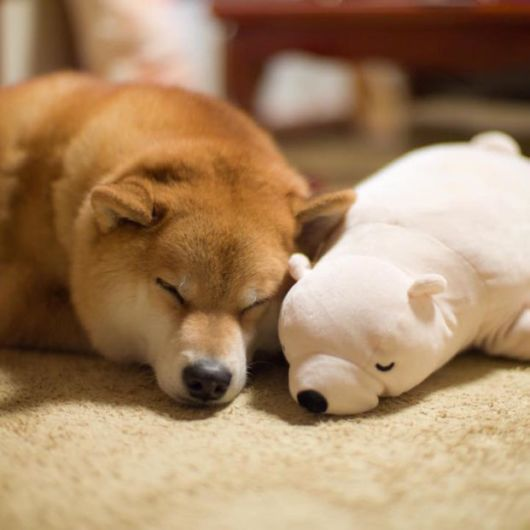 Cute Shiba Inu Keeps Falling Asleep In The Same Position As His Favourite Toy