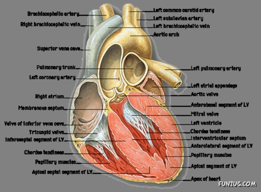 Amazing facts about your heart funzug amazing facts about your heart ccuart Gallery