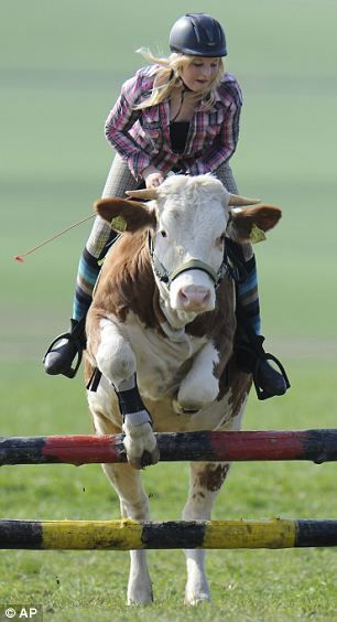 Riding A Cow Like A Horse