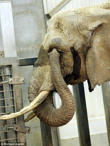 Cataract Operation For An Elephant